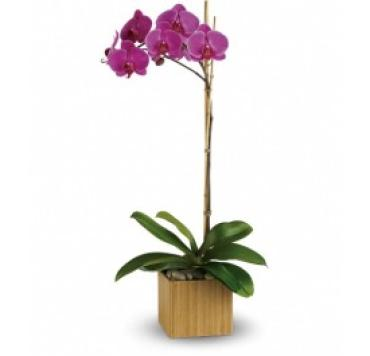 Imperial Single Orchid Plant