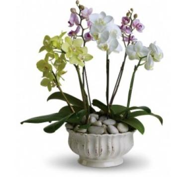6 Regal Orchid
