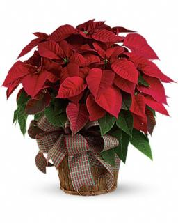 Red Poinsettia Large 10.5 INCHES