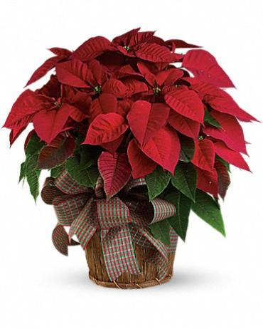 Poinsettia RED Large
